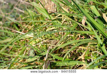Wet Grass After The Rain