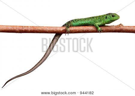 Green Lizard On A Branch