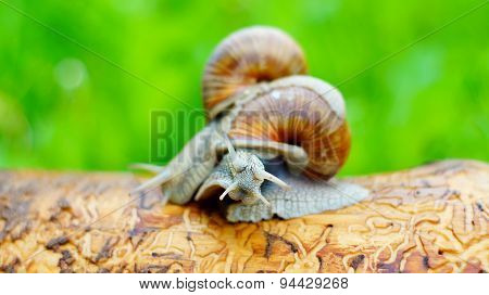 Big snails struggling with each other