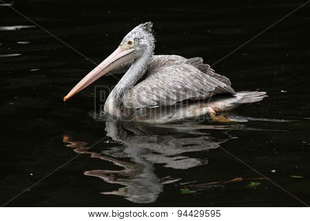 Grey pelican (Pelecanus philippensis), also known as the spot-billed pelican. Wildlife animal.