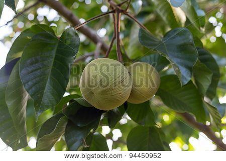 Green Santol Meliaceae Thai Fruit On Tree.