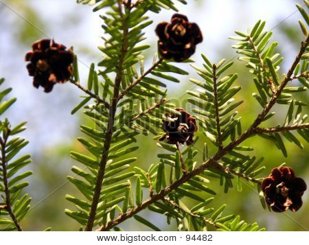 Little Pine Cones