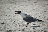 A laughing gull cries on the sand of a Florida beach poster