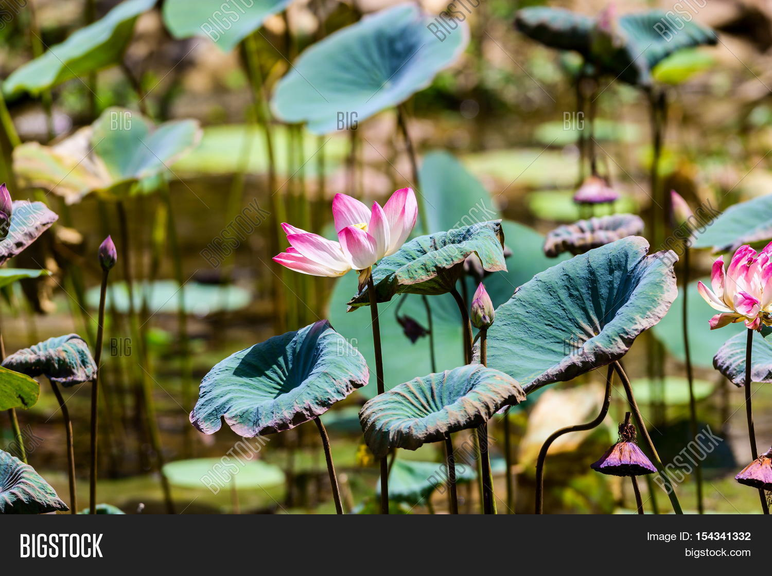 Lotus national flower image photo free trial bigstock the lotus the national flower of india is a symbol of supreme reality mightylinksfo