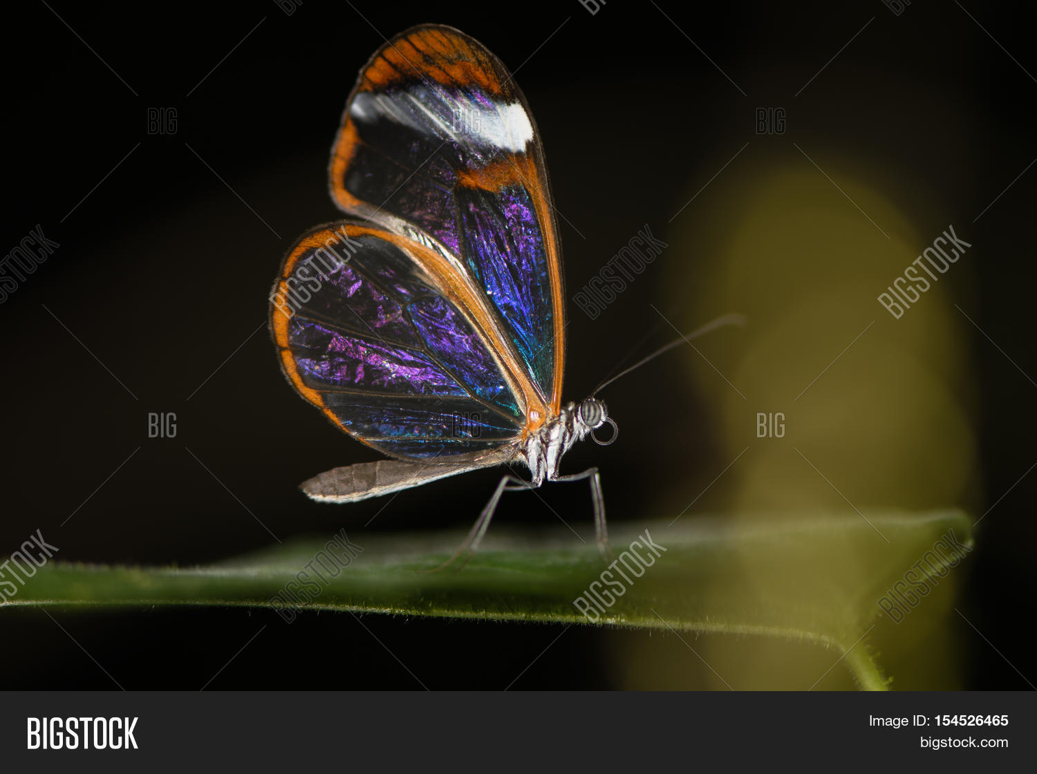 Glasswinged Butterfly Image Photo Free Trial Bigstock