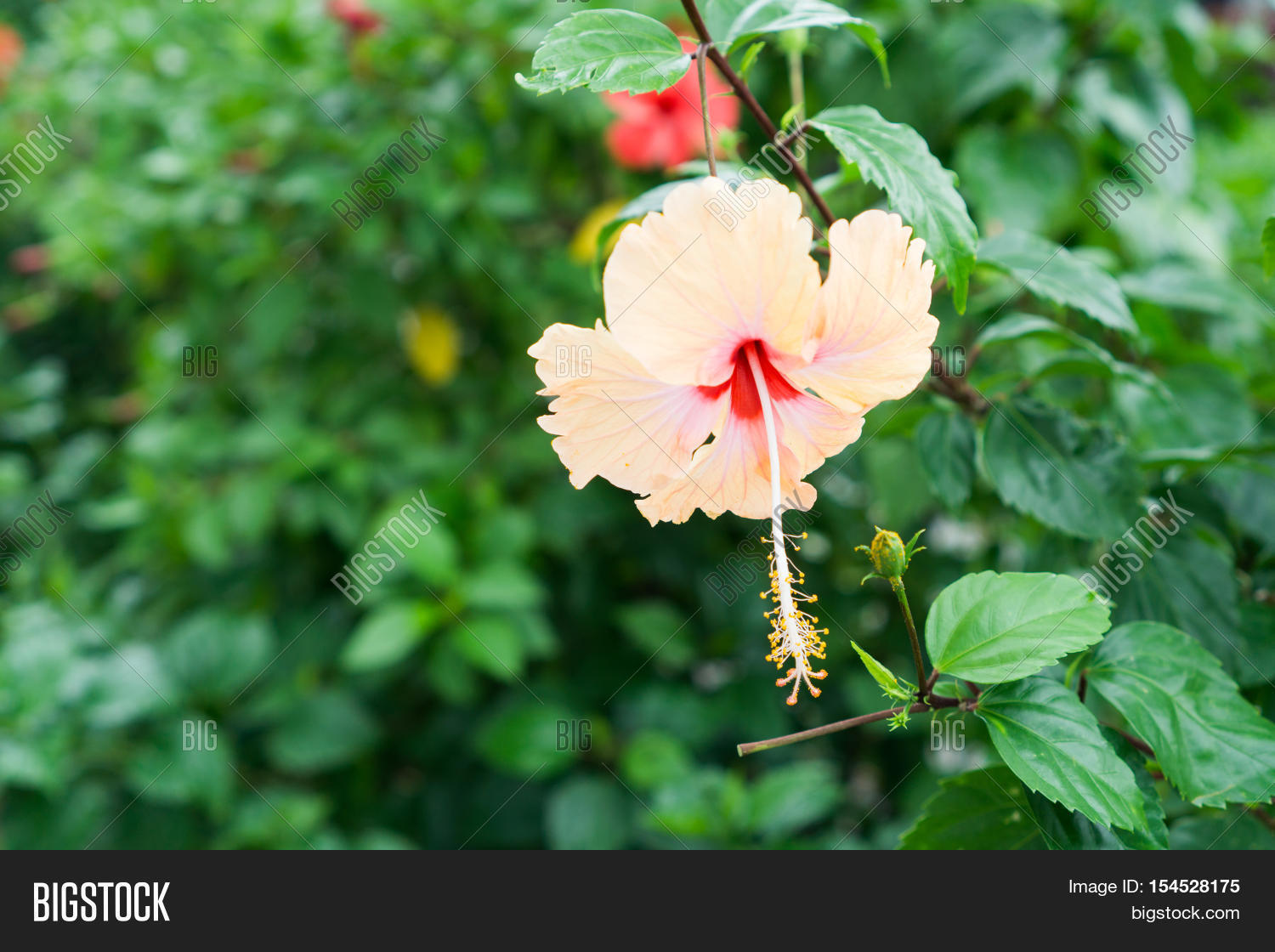 Pink chinese rose image photo free trial bigstock pink chinese rose shoe flower or a flower of red hibiscus with green leaves izmirmasajfo