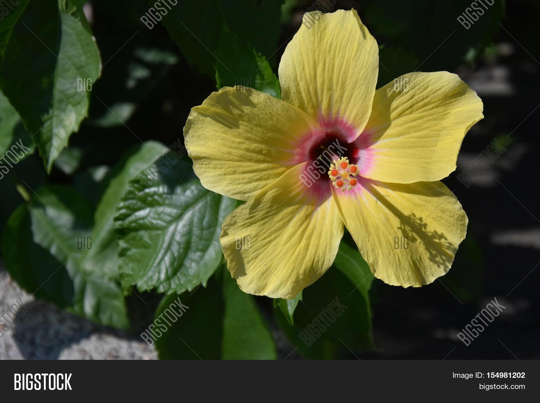 Big Yellow Hibiscus Image Photo Free Trial Bigstock