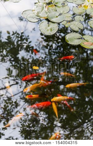 Group of gold and red carps in water which reflects the trees
