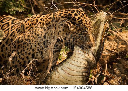 Jaguar Dragging Dead Yacare Caiman Through Undergrowth