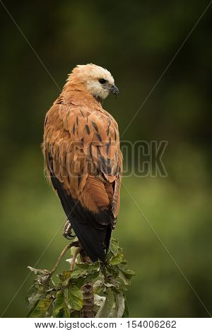 Black-collared Hawk Perched On Stump Facing Right