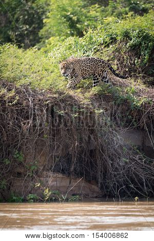 Jaguar Prowling Through Bushes On River Bank