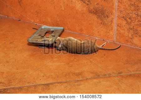 Dead mouse caught in traps on the kitchen pavement. Small mouse in a mousetrap. Dead mouse in a trap. Disinfestation house.
