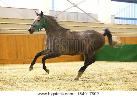Thoroughbred lipizzan horse canter empty riding hall