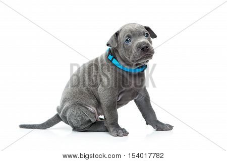 One month old thai ridgeback puppy dog in blue collar sitting. Isolated on white. Copy space.