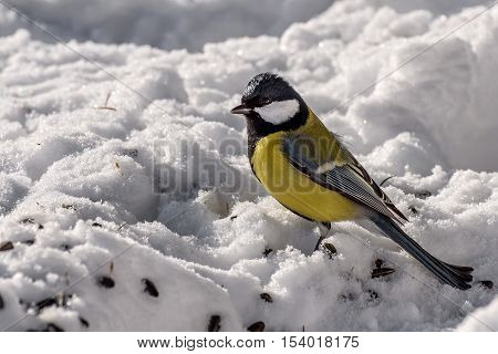 Winter view with bird titmouse closeup snow and seeds on the snow