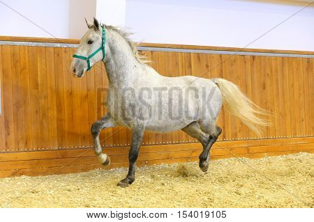 Grey colored lipizzan horse runs in riding hall. Purebred lipizzaner galloping without rider