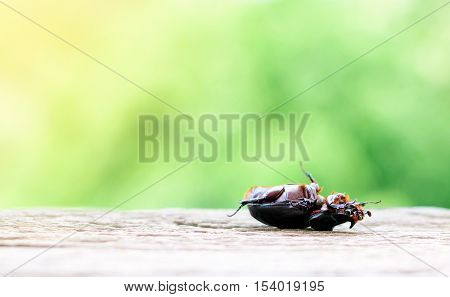 Scarab lying flat on wooden floors with green nature background.