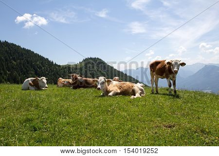 Schafberg / cows on pasture in the mountains