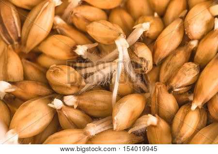 little green sprouting barley in the spring for planting or for human consumption in its natural form as a healthy food as well as for the energy drinks preparation of malt beer