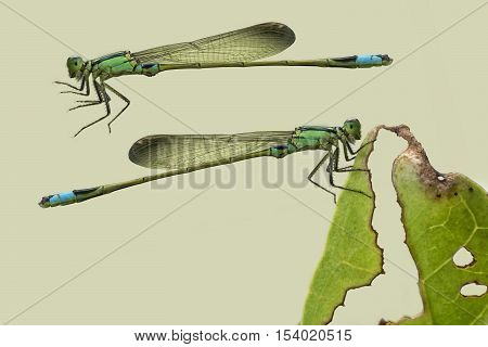 Green and blue damselfly isolated on light green color background