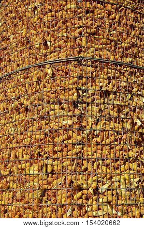 An old open wire crib full of corn allows for air drying.