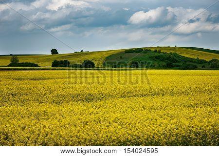 Field of rape seed, near the village of Marinka, Bulgaria