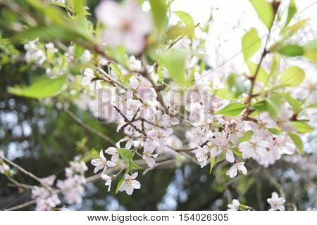 Spring Cherry blossoms tree with green leaf