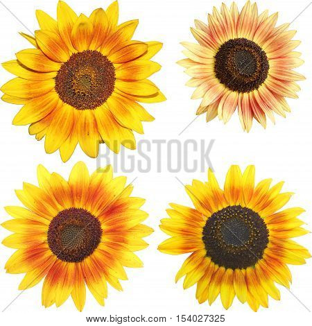 set of isolated yellow sunflowers - Helianthus annuus