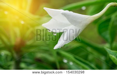 White flower with sunlight in the garden