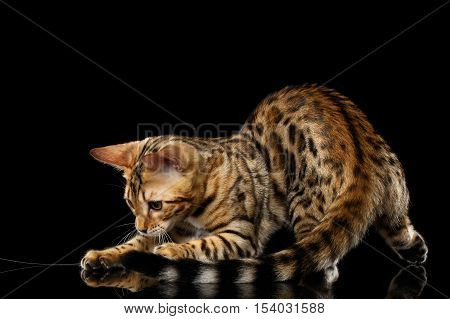 Adorable Bengal Cat Playing with tail on isolated Black Background with reflection, Side view