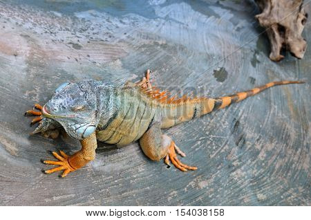 large arboreal tropical American lizard with a spiny crest along the back and greenish coloration