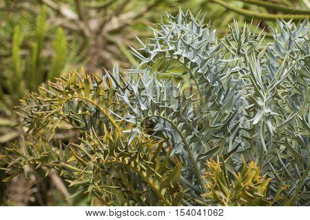 The Eastern Cape Blue Cycad (Encephalartos horridus) plant in a Blanes Botanic Garden.