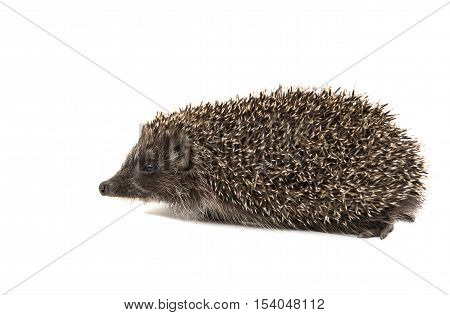 Hedgehog creature spicked on a white background
