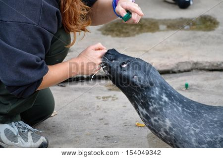 A sea lion working with a trainer