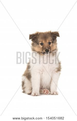 Cute sitting sheltie shetland sheepdog puppy facing the camera isolated on a white background