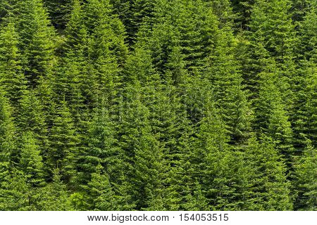 Pine trees green alpine woods, forest pattern background. Evergreen fir tree background. Dense pine trees forest texture.