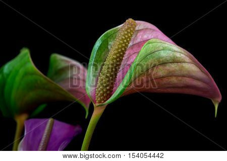 Close-up of anthurium flower. Zen in the art of flowers. Macro photography of nature.