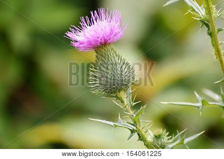 A purple thistle in the field during summer
