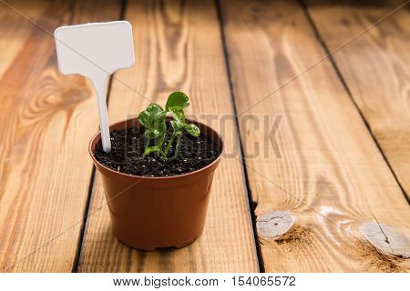 Horticulture. Garden tools and a pot of bean sprouts on a wooden table. Work in the garden