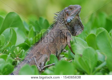 Brown iguana sitting in the top of green shrubbery.