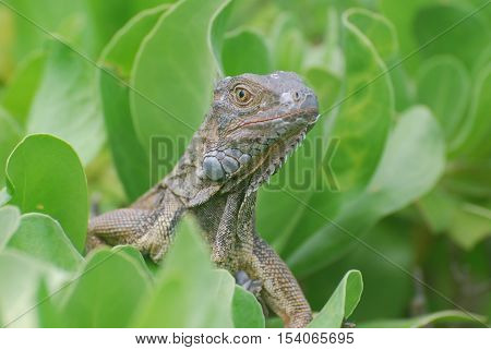 Curious common iguana perched in a green shrub.