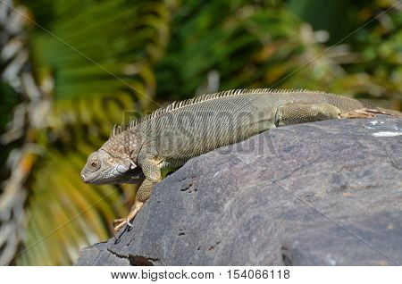 Common iguana stretched out on a rock in Aruba.