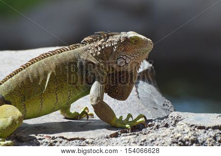 A great looking common iguana in Aruba.