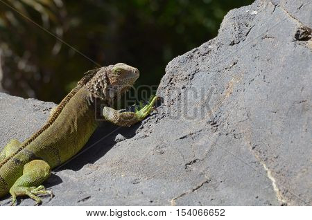 Common iguana peaking over the edge of a rock in Aruba.