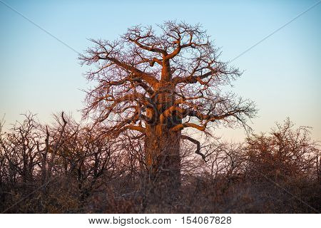 Huge Baobab Plant In The African Savannah With Clear Blue Sky At Sunrise. Botswana, One Of The Most
