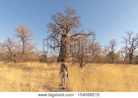 Tourist walking in the african savannah towards huge Baobab plant and Acacia trees grove. Clear blue sky. Adventure and exploration in Botswana one of the most attractive travel destionation in Africa.