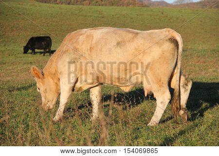 Two cows graze in a field. Appalachian Mountains, West Virginia