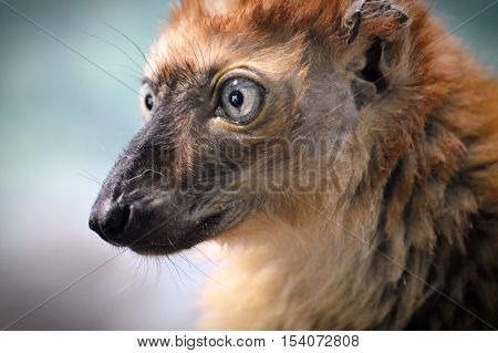 Close up of a blue eyed Lemur