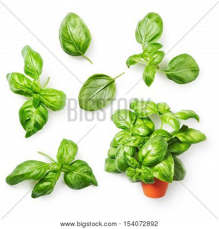 Basil herbs collection. Fresh basil bunch in flowerpot and basil leaf isolated on white background. Top view flat lay