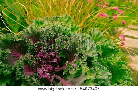 Fall garden design with decorative ornamental cabbage grasses and fall blooming mums